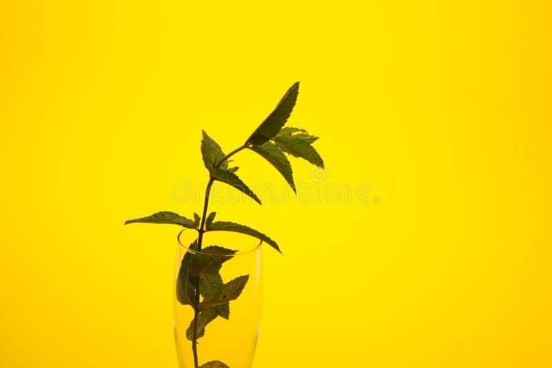 Η μέντα είναι ένα χορτάρι, αρωματικό και με την καλή γεύση στοκ φωτογραφία