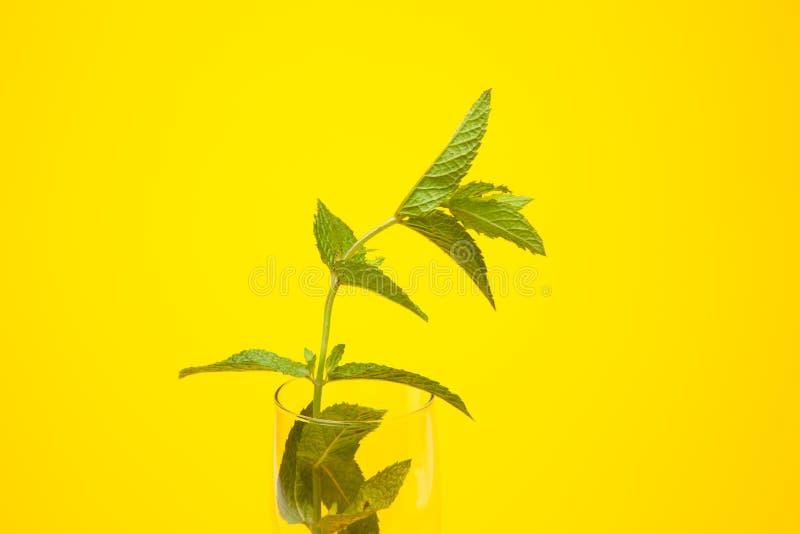 Η μέντα είναι ένα χορτάρι, αρωματικό και με την καλή γεύση στοκ φωτογραφίες με δικαίωμα ελεύθερης χρήσης