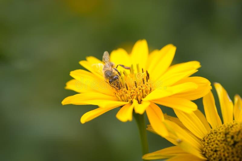 Η μέλισσα που πετά από το λουλούδι στο λουλούδι και επικονιάζει στοκ εικόνα με δικαίωμα ελεύθερης χρήσης