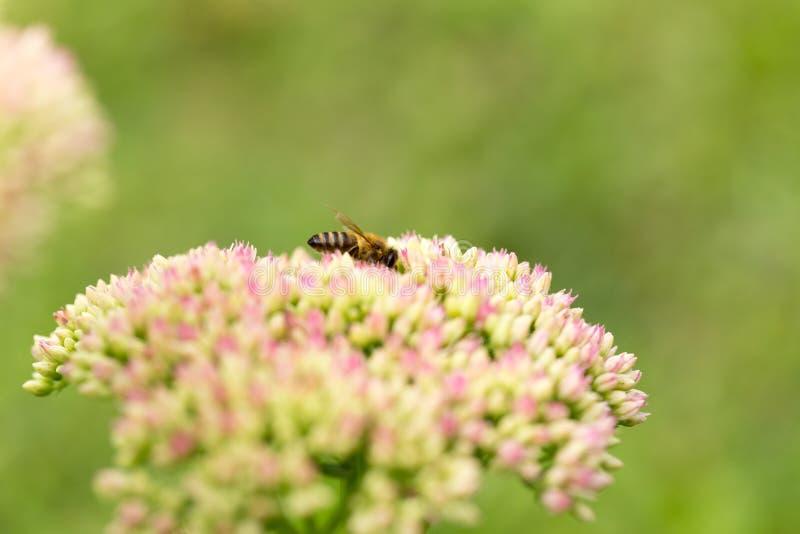 Η μέλισσα που πετά από το λουλούδι στο λουλούδι και επικονιάζει στοκ φωτογραφία με δικαίωμα ελεύθερης χρήσης