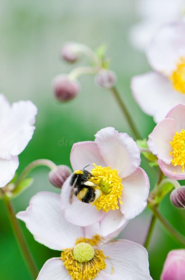 η μέλισσα συλλέγει τη γύρη από το λουλούδι, κινηματογράφηση σε πρώτο πλάνο στοκ φωτογραφία