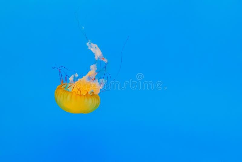 Η μέδουσα κολυμπά στοκ φωτογραφίες