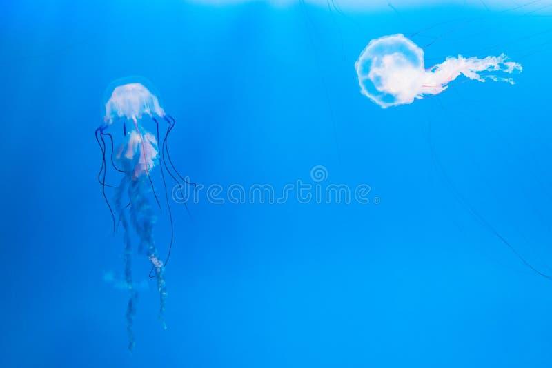 Η μέδουσα κολυμπά στοκ εικόνα με δικαίωμα ελεύθερης χρήσης