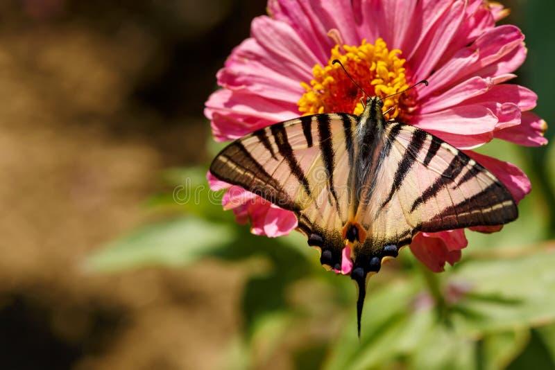 Η μακροεντολή μιας πεταλούδας Swallowtail Papilionidae στη Zinnia elegans ανθίζει στο θολωμένο φυσικό κλίμα μια φωτεινή θερινή ημ στοκ φωτογραφία