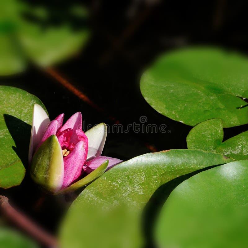 Η μακρο φωτογραφία αφήνει και ανθίζει το nenuphar νερό lilly στοκ εικόνες