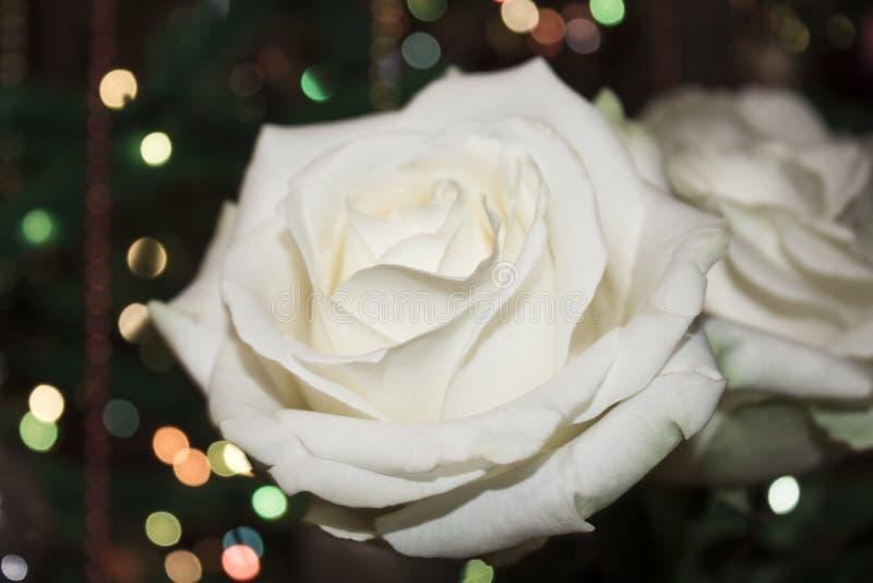 η μακρο φωτογραφία πετάλων λουλουδιών pistil αυξήθηκε stamens έξοχο λευκό Άσπρος αυξήθηκε με dew στοκ εικόνες με δικαίωμα ελεύθερης χρήσης