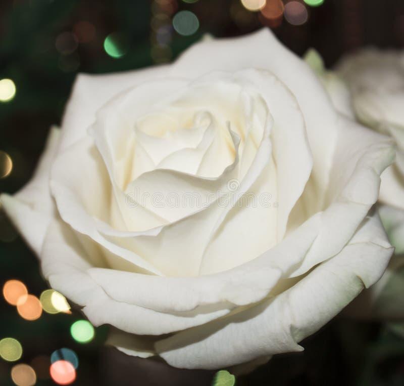 η μακρο φωτογραφία πετάλων λουλουδιών pistil αυξήθηκε stamens έξοχο λευκό Άσπρος αυξήθηκε με dew στοκ φωτογραφίες