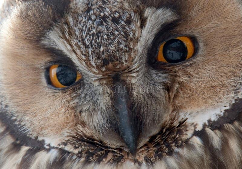 Η μακρύς-έχουσα νώτα κουκουβάγια - μάτια otus Asio. στοκ εικόνες με δικαίωμα ελεύθερης χρήσης