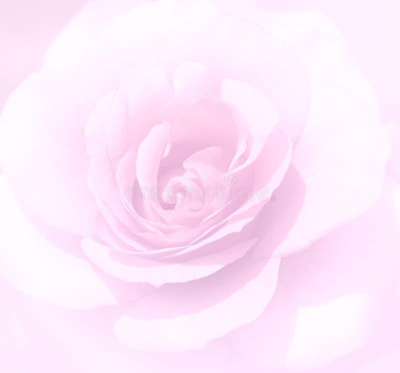 Η μαλακή εστίαση ανοικτό ροζ αυξήθηκε υπόβαθρο Η θαμπάδα Defocused αυξήθηκε peta στοκ φωτογραφίες με δικαίωμα ελεύθερης χρήσης