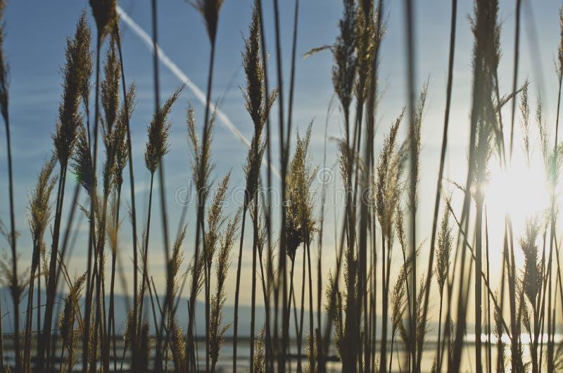 Η μαλακή χλόη καλάμων του υγρότοπου στο Γκρέιτ Σωλτ Λέηκ στοκ φωτογραφία με δικαίωμα ελεύθερης χρήσης