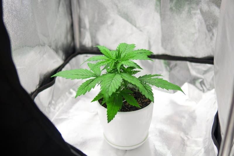 Η μαριχουάνα αυξάνεται μέσα τη σκηνή κιβωτίων Αυξανόμενος τη μαριχουάνα στο σπίτι εσωτερική Βλάστηση της ανάπτυξης καννάβεων στοκ εικόνες με δικαίωμα ελεύθερης χρήσης