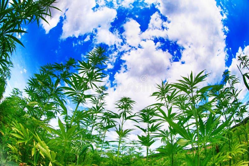η μαριχουάνα φυτεύει τον τομέα στοκ εικόνα