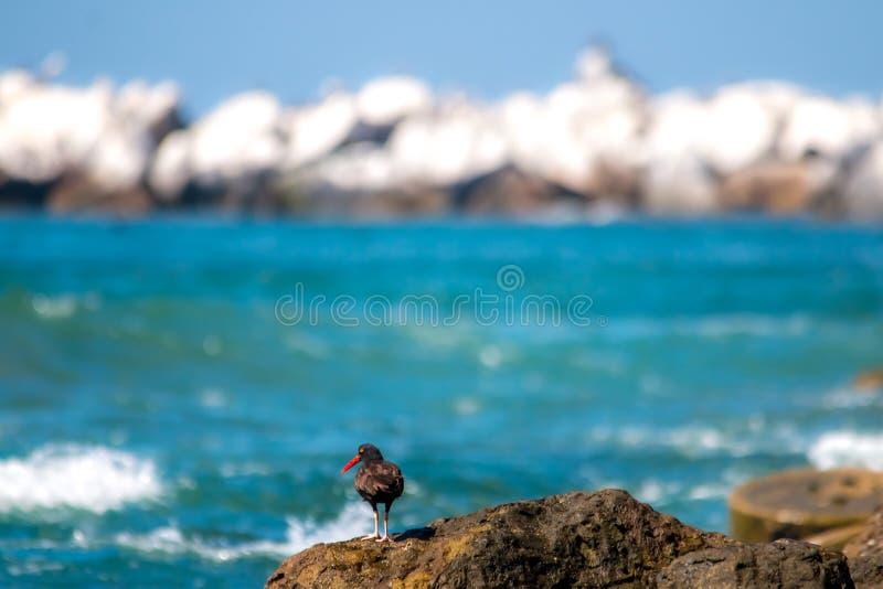 Η μαύρη νερόκοτα που πιάνει τα στρείδια από την παραλία στοκ εικόνα