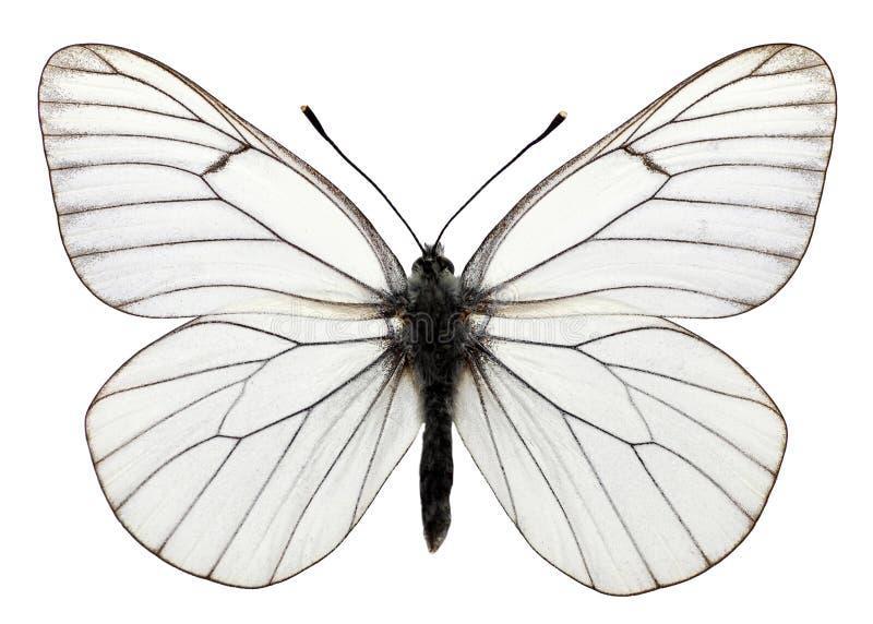 η μαύρη πεταλούδα απομόνωσε φλεβώή ελεύθερη απεικόνιση δικαιώματος