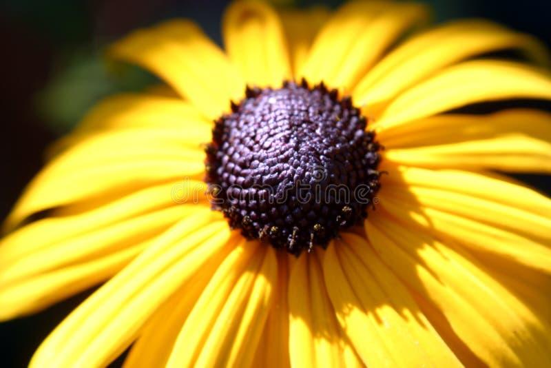 η μαύρη eyed Susan στοκ φωτογραφία με δικαίωμα ελεύθερης χρήσης