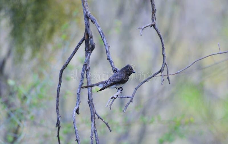 Η μαύρη Phoebe στην έρημο Sonoran στοκ φωτογραφία με δικαίωμα ελεύθερης χρήσης