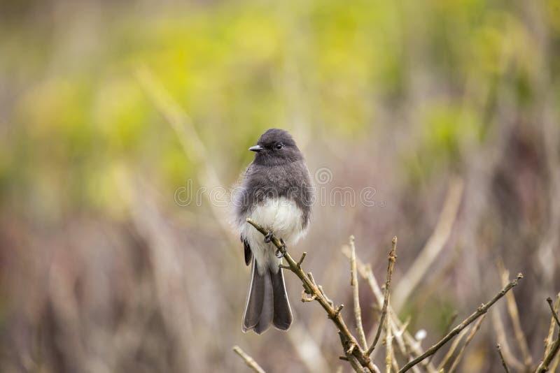 Η μαύρη Phoebe Sayornis nigricans στοκ φωτογραφία