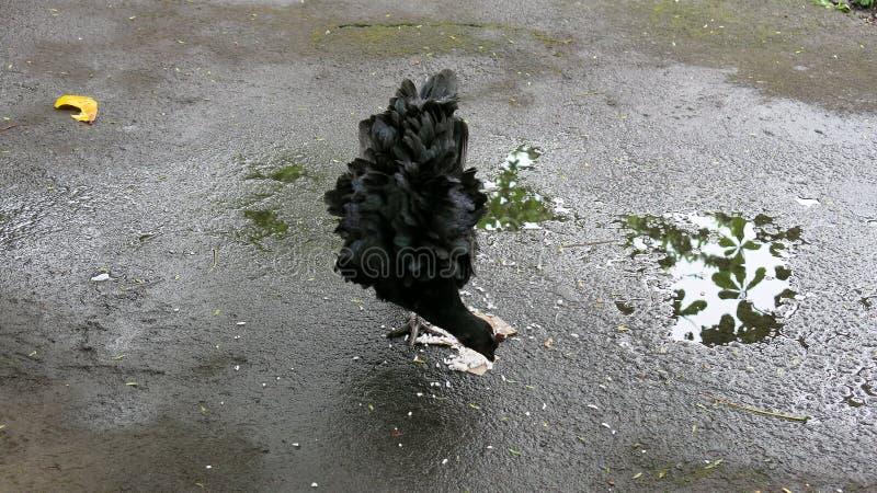 Η μαύρος-επενδυμένη με φτερά κότα τρώει τα υπόλοιπα τροφίμων από το έδαφος Υγρό πεζοδρόμιο μετά από τη βροχή Οι λακκούβες στο δρό στοκ εικόνα