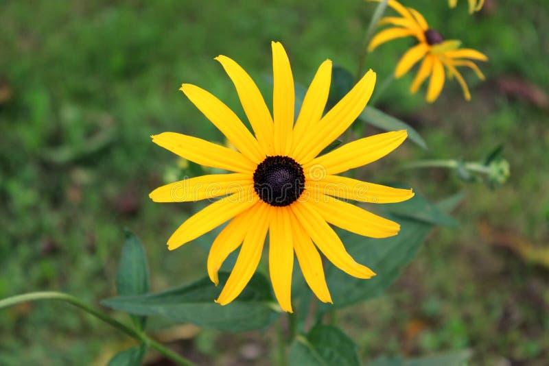 Η μαύρος-eyed Susan ή λουλούδι hirta Rudbeckia ανοικτό και ανθίζοντας φωτεινό κίτρινο πλήρως με το μαύρο κέντρο στο ηλιοβασίλεμα στοκ φωτογραφία με δικαίωμα ελεύθερης χρήσης