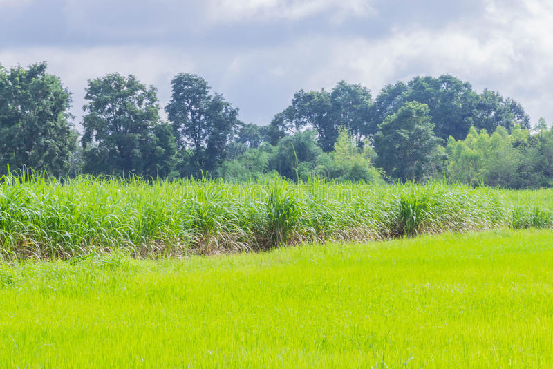 Η μαλακή εστίαση ο τομέας φύσης, πράσινος τομέας ρυζιού ορυζώνα, τομέας εγκαταστάσεων ζαχαροκάλαμων, ο όμορφοι ουρανός και το σύν στοκ φωτογραφίες με δικαίωμα ελεύθερης χρήσης