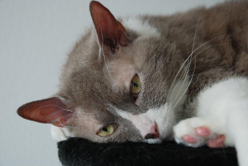 Η μεγάλη γκρίζα γάτα της βρετανικής φυλής βρίσκεται και θέτει για τη κάμερα στοκ φωτογραφίες με δικαίωμα ελεύθερης χρήσης