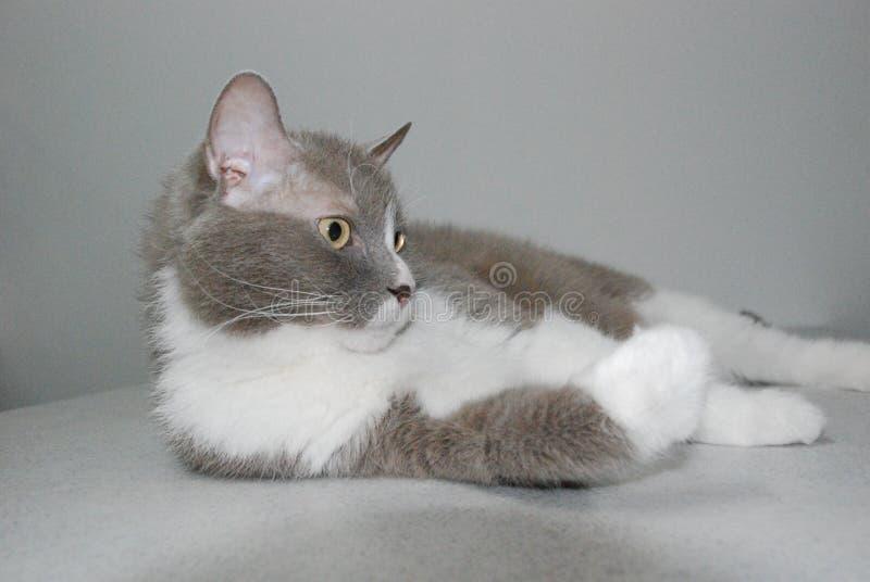 Η μεγάλη γκρίζα γάτα της βρετανικής φυλής βρίσκεται και θέτει για τη κάμερα στοκ φωτογραφία με δικαίωμα ελεύθερης χρήσης