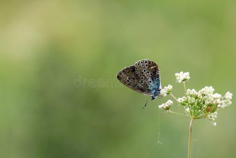 Η μεγάλη μπλε πεταλούδα Arion είναι στο άσπρο λουλούδι σας στοκ εικόνα