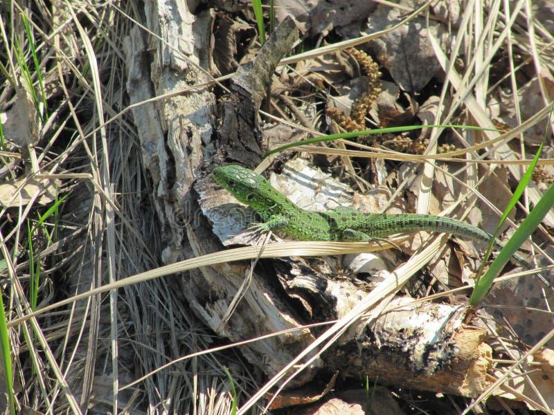 Η μεγάλη πράσινη σαύρα σέρνεται από την τρύπα του στο bask στον ήλιο στοκ εικόνα