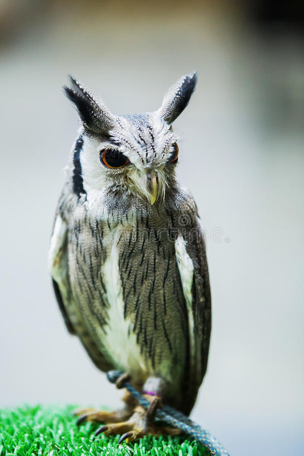 Η μεγάλη κερασφόρος κουκουβάγια κοιτάζει στοκ φωτογραφίες με δικαίωμα ελεύθερης χρήσης