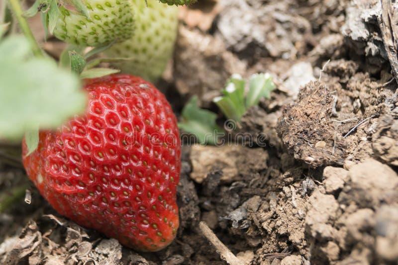 Η μεγάλη κόκκινη φράουλα αυξάνεται στον κήπο στοκ φωτογραφίες