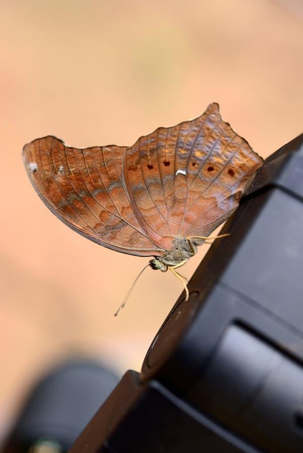Η μεγάλη πεταλούδα Assyrian στοκ εικόνα