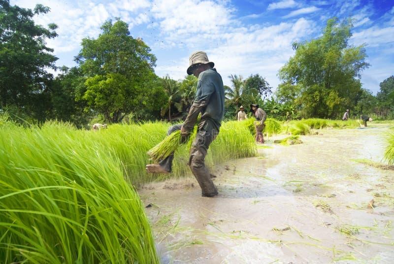 Η μεταμόσχευση ρυζιού σε Siem συγκεντρώνει, Καμπότζη στοκ εικόνες