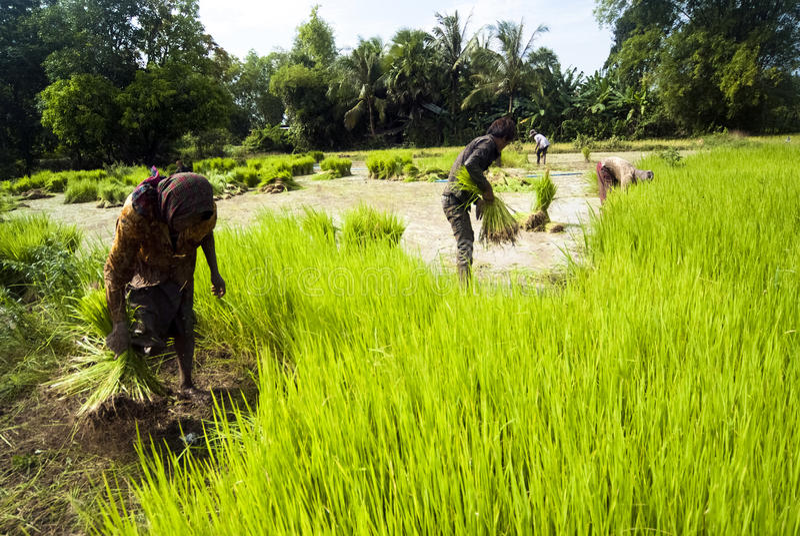 Η μεταμόσχευση ρυζιού σε Siem συγκεντρώνει, Καμπότζη στοκ εικόνα