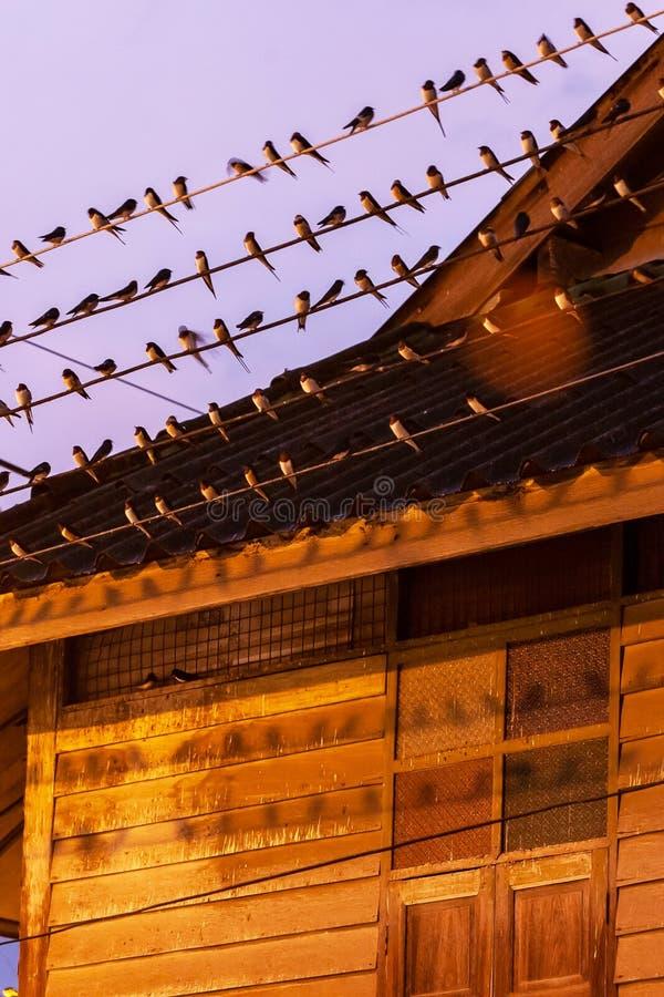 Η μετανάστευση πουλιών στο ηλιοβασίλεμα, κοπάδι της σιταποθήκης καταπίνει τα καλώδια και τις μαρκίζες του ξύλινου σπιτιού Πόλη Be στοκ εικόνες
