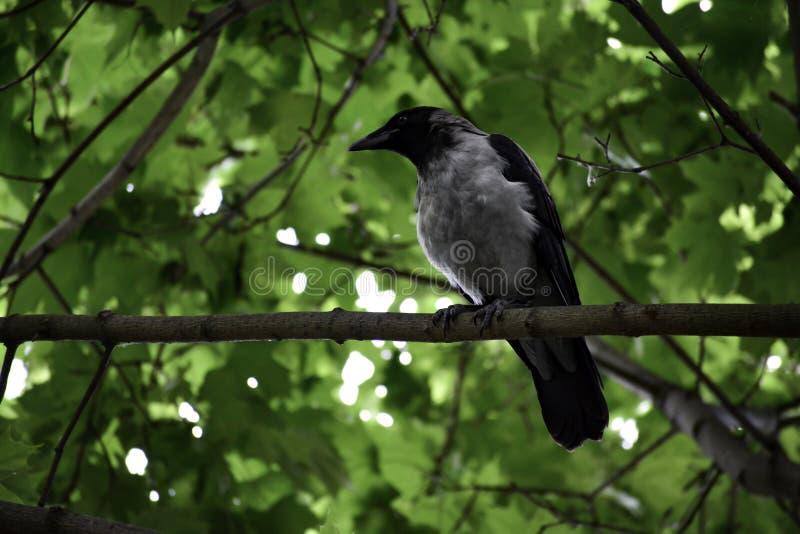 Η με κουκούλα κορώνα ( corvus cornix)  κάθεται σε έναν κλάδο και κοιτάζει γύρω στοκ φωτογραφίες