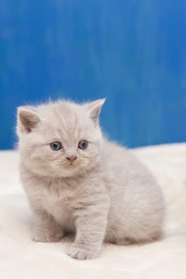 Η μικρή βρετανική συνεδρίαση γατακιών στο μπλε υπόβαθρο και τα βλέμματα προσεκτικά στοκ εικόνα με δικαίωμα ελεύθερης χρήσης
