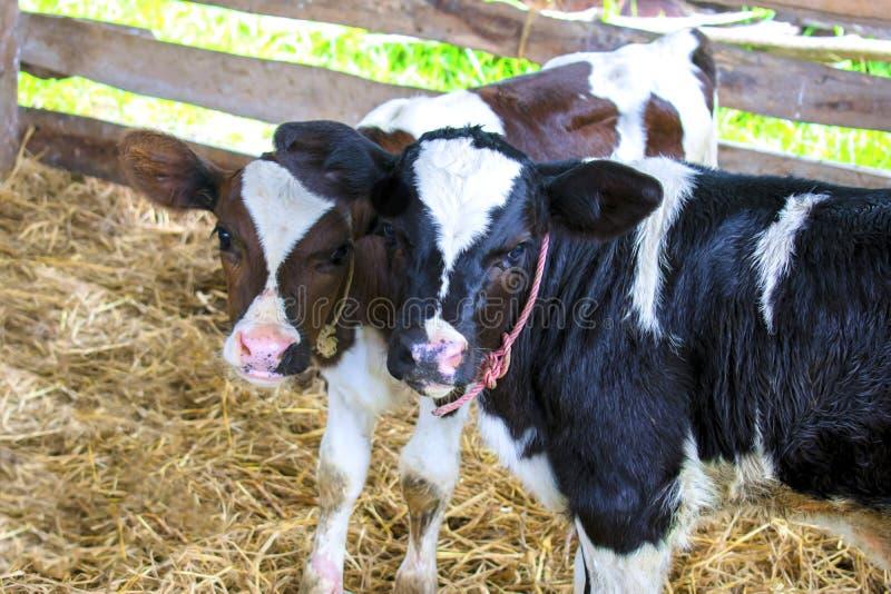 Η μικρή γαλακτοκομική αγελάδα στο αγρόκτημα στοκ εικόνες με δικαίωμα ελεύθερης χρήσης