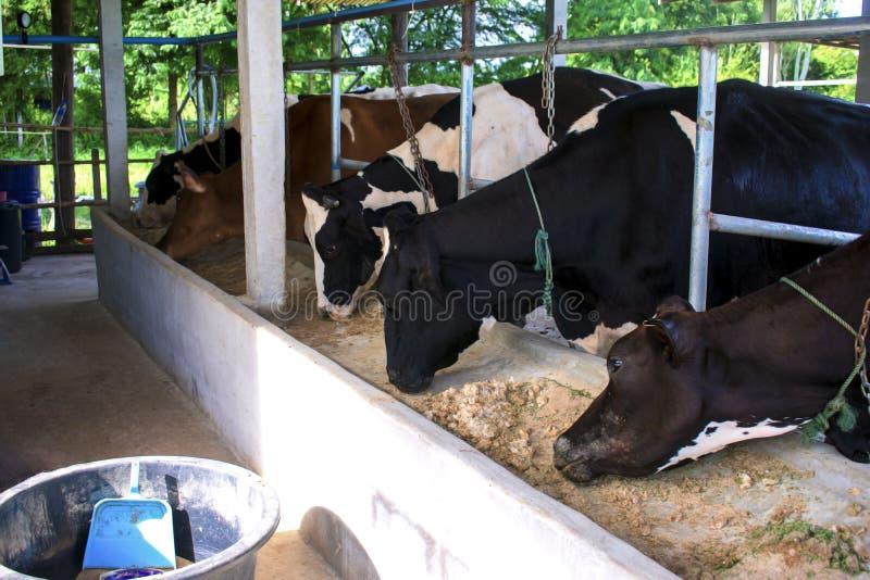 Η μικρή γαλακτοκομική αγελάδα στο αγρόκτημα στοκ φωτογραφίες