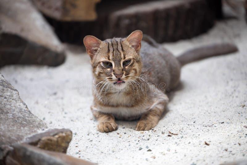 Η μικρή σκουριασμένος-επισημασμένη γάτα, rubiginosus Prionailurus είναι πολύ σπάνια στοκ φωτογραφία με δικαίωμα ελεύθερης χρήσης