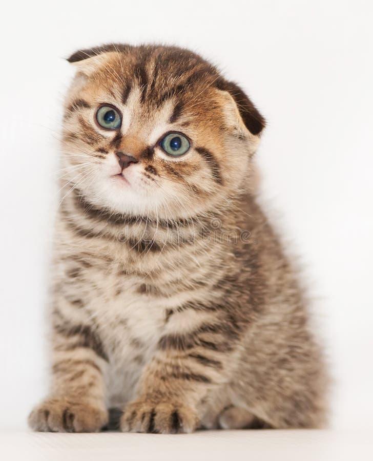 Η μικρή τιγρέ σκωτσέζικη πτυχή γατακιών κάθεται και κοιτάζει επίμονα μελαγχολικά στοκ φωτογραφία με δικαίωμα ελεύθερης χρήσης