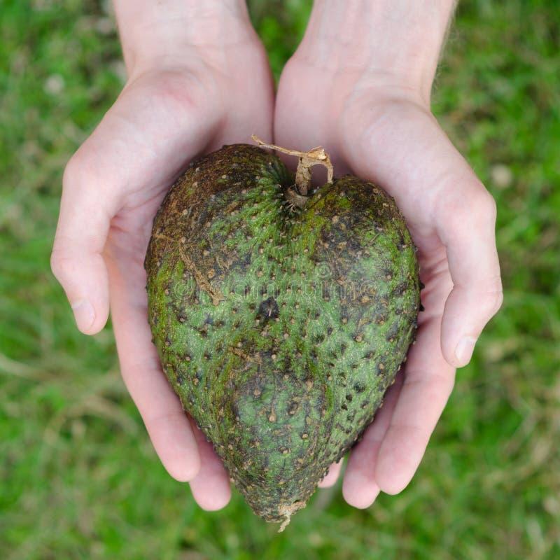 Η μορφή καρδιών Guanabana επανδρώνει μέσα τα χέρια στο πράσινο τετράγωνο υποβάθρου χλόης στοκ φωτογραφία