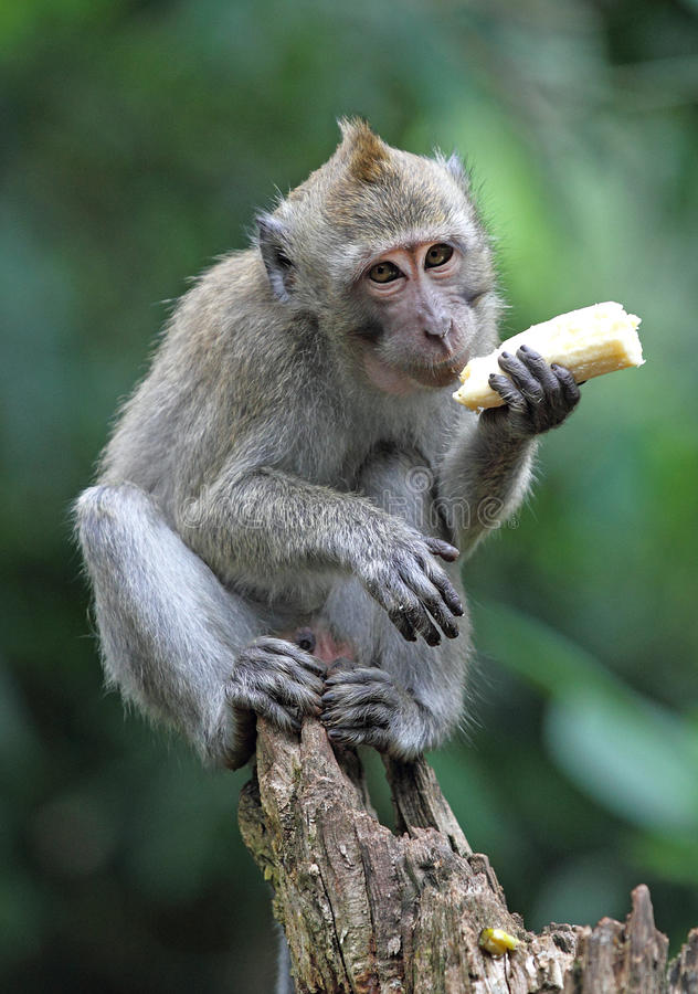 η μπανάνα τρώει τον πίθηκο στοκ εικόνες με δικαίωμα ελεύθερης χρήσης