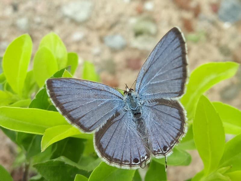 Η μπλε πεταλούδα pancy Μακρο πλάνο στοκ εικόνες