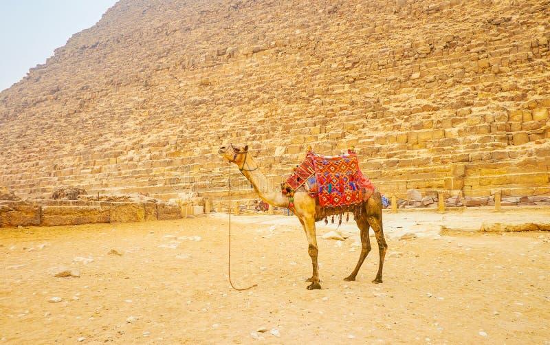 Η μόνη καμήλα σε Giza, Αίγυπτος στοκ εικόνες με δικαίωμα ελεύθερης χρήσης