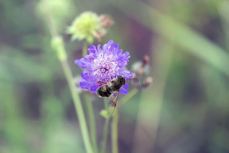 Η μύγα κηφήνων κάθεται σε ένα πορφυρό λουλούδι στοκ φωτογραφία