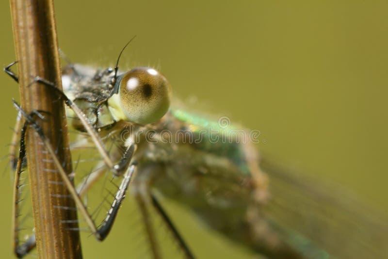Η μύγα, λιβελλούλη έχει ένα υπόλοιπο κάτω από τον ήλιο κλείστε επάνω wildlife στοκ φωτογραφίες