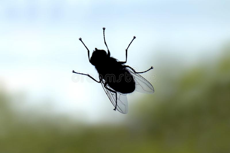 Η μύγα, σκιαγραφία εντόμων ζωύφιου μυγών, μύγα είναι μεταφορέας της εκλεκτικής εστίασης διάρροιας στοκ φωτογραφίες