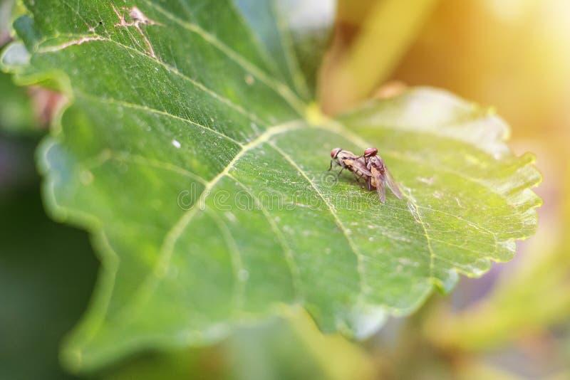 Η μύγα υβριδιοποιεί στο φύλλο μουριών στοκ εικόνες με δικαίωμα ελεύθερης χρήσης