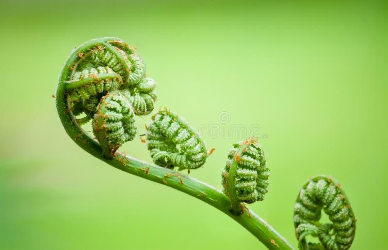 Η νέα νέα φτέρη που κουλουριάζεται fiddleheads ξετυλίγει και επεκτείνεται στα φύλλα που μοιάζουν με ένα βιολί Κλείστε επάνω τη μα στοκ εικόνες