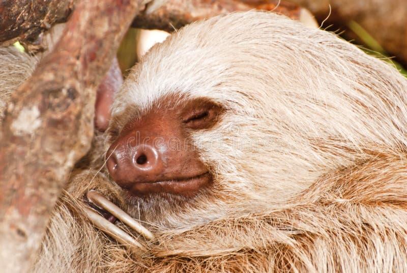 η νωθρότητα ύπνου το δέντρο &d στοκ φωτογραφία με δικαίωμα ελεύθερης χρήσης